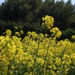 晴天中的小黃花